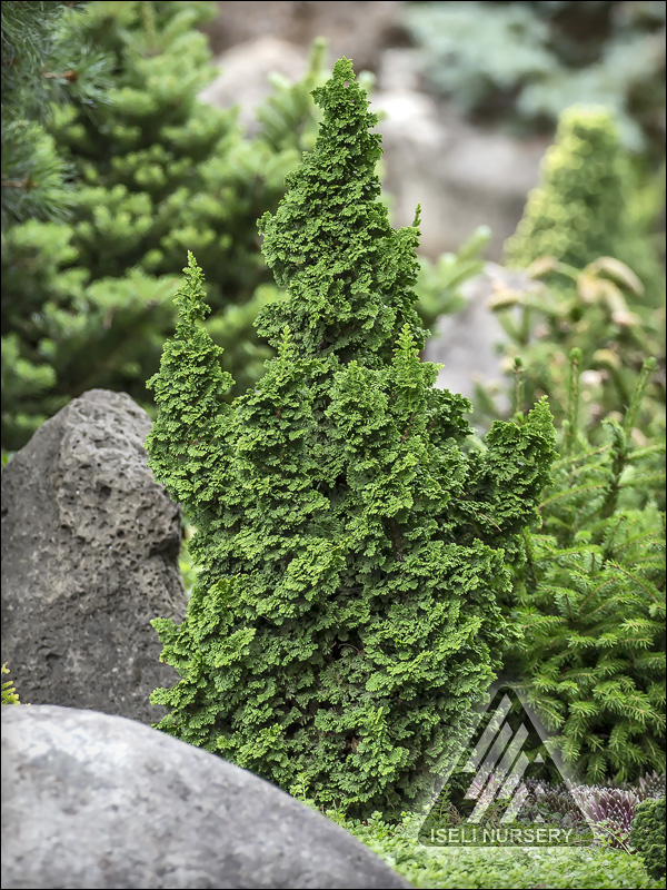 Thuja-occidentalis-Primo-IslPrim